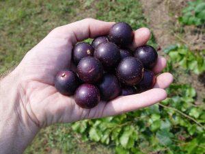 muscadine-grape-dalam-vivix-shaklee