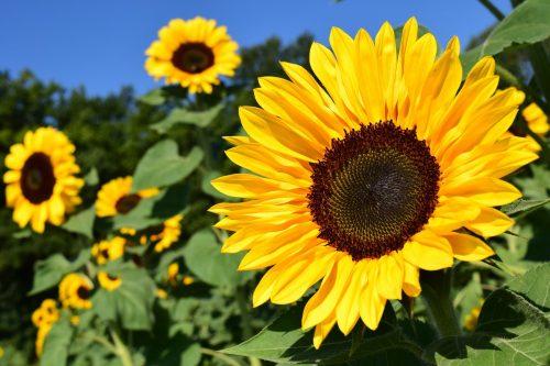 bunga-sunflower-ubat-dan-penawar-denggi